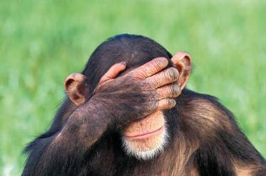 embarrassed-chimpanzee-with-head-in-hands