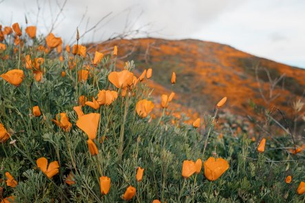 Walker-Canyon-in-Lake-Elsinore-California-Superbloom-9299